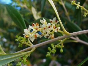fioritura-olivo_NG1