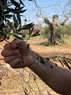 Albero d'olivo infetto da Xylella